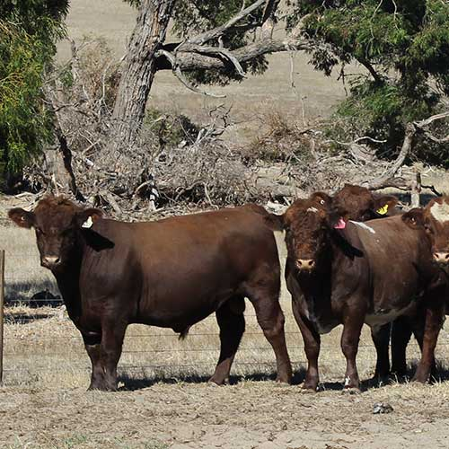 Belmore Bull Sale 2019 Catalogue